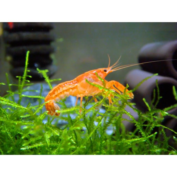 Mexican Dwarf Orange Crayfish? (CPOs) are an excellent addition to ...