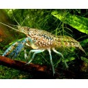 Self-Cloning Marble Crayfish