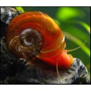 Ramhorn Snail