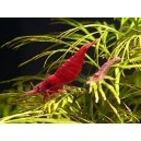 Taiwan Fire Red Shrimp