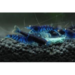 Blue Tiger Shrimp (Orange Eyes)
