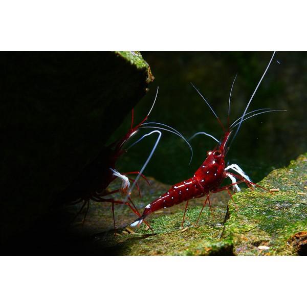 Sulawesi Cardinal Shrimp