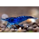 Blue Dream Rili Shrimps